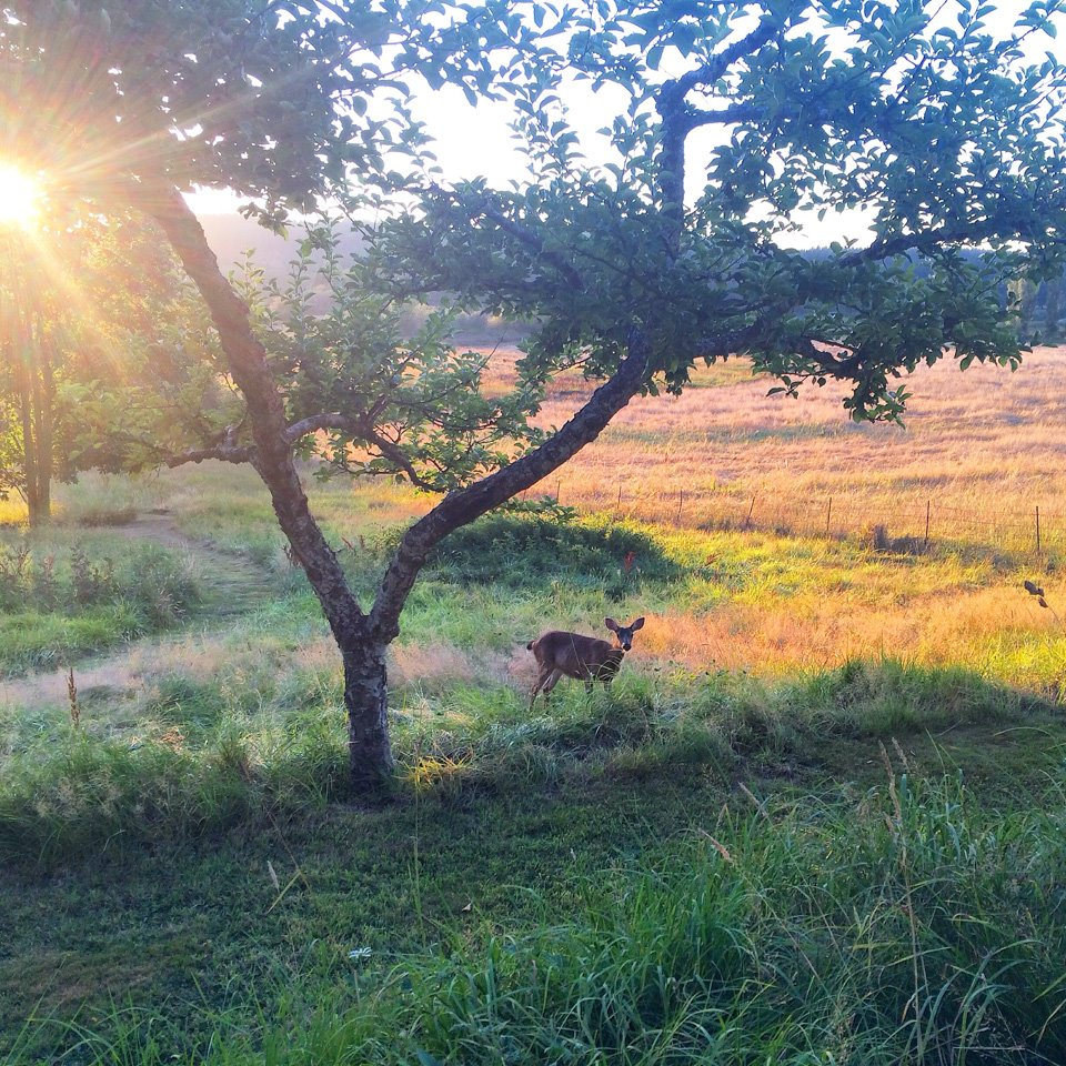 A little deer behind the house at dusk, Whidbey