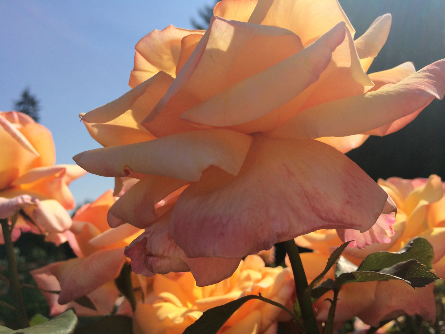 Roses at the Test Gardens