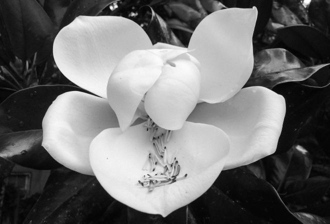 backyard magnolia